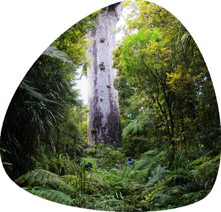 Tāne Mahuta, also called God of the Forest, is a giant kauri tree in the Waipoua Forest of Northland Region, New Zealand. Its age is unknown but is estimated to be between 1,250 and 2,500 years. It is the largest kauri known to stand today. It is named for the Māori god of forests and of birds.